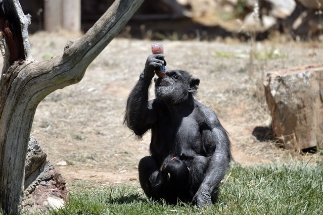A chimpanzee drinks frozen fruit juice from a bottle at the Attica Zoological Park in Spata, near Athens, on July 23, 2015. (Photo by Aris Messinis/AFP Photo)