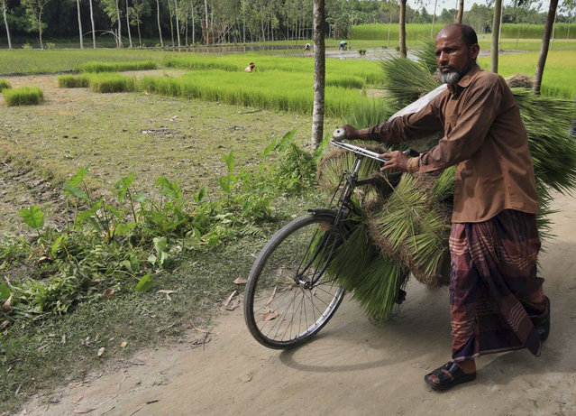 A villager carries harvested rice on his cycle at Dashiachora, in Kurigram enclaves, Bangladesh. Bangladesh and India are going to officially exchange the adversely possessed enclaves Friday midnight where the two neighboring countries will implement the Land Boundary Agreement in line with a deal signed in 1974. (Photo by AP Photo)