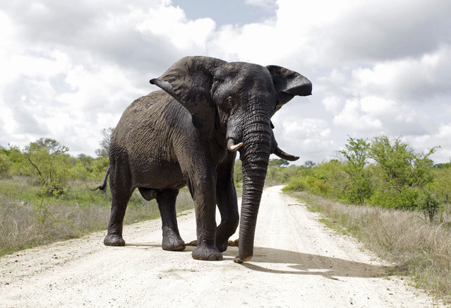 An elephant attempts to intimidate visitors in the Kruger National Park situated 60 kilometres east of Nelspruit, November 24, 2009. (Photo by Rogan Ward/Reuters)