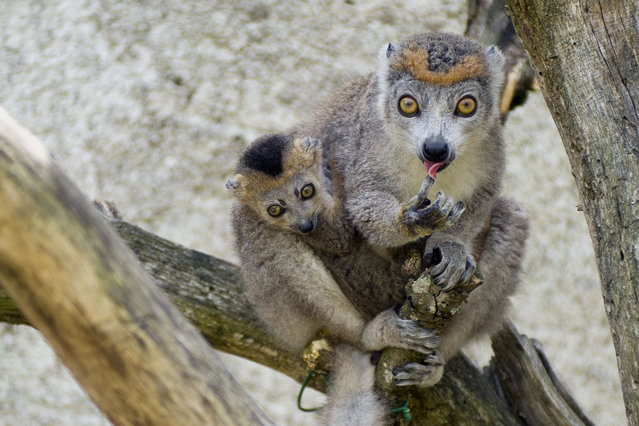 A female crowned lemur and her baby which was born on May 5, 2014, are pictured at the La Haute Touche zoological park in Obterre, on July 18, 2014. Two pairs of twin crowned lemurs were born on May 2014 at the zoo. (Photo by Guillaume Souvant/AFP Photo)