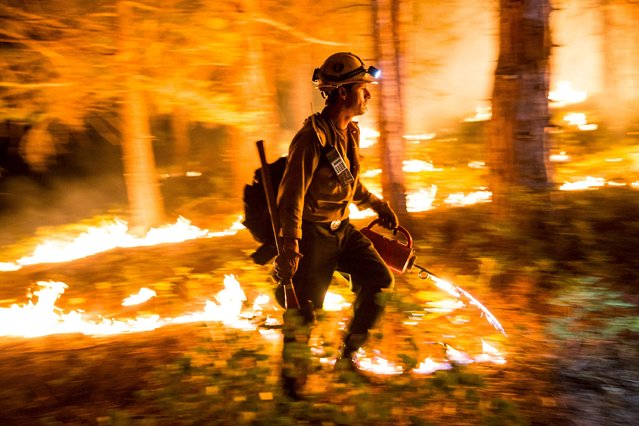 "A Fulton Hotshot lights a controlled burn on the so-called ""Rough Fire"" in the Sequoia National Forest, California, August 21, 2015. (Photo by Max Whittaker/Reuters)"