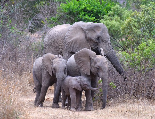 """""""African Elephant Family"""". Margo Reeves Lewis, 51, of Arlington, caught this family moment at the Lion Sands Game Reserve in South Africa's Sabi Sands in October 2014. (Photo by Margo Reeves Lewis)"""