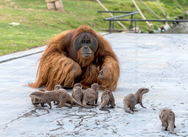 """The three orangutans at Pairi Daiza zoo, Belgium, developed a """"special bond"""" with the otters after their river was run through the ape enclosure on March 2020. The zoo said it enriched both species' environments. An animal – and this is even more the case of orangutans, with whom humans share 97 per cent of their DNA – must be entertained, occupied, challenged and kept busy mentally, emotionally and physically at all times. (Photo by Pascale Jones/The Sun)"""