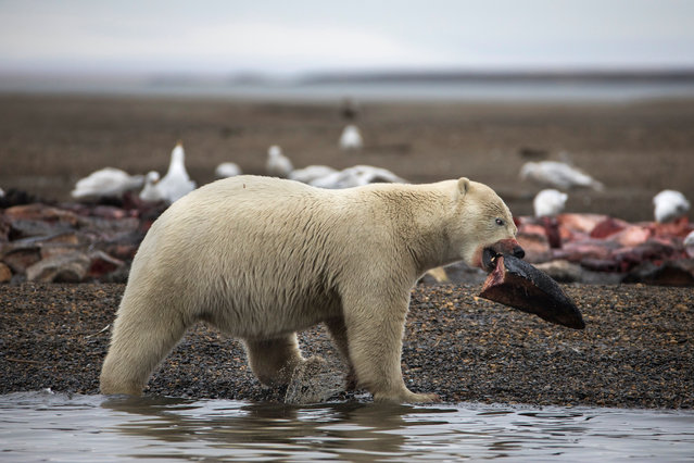 A young polar bear feasts on the remains of a bowhead whale, harvested legally by whalers during their annual subsistence hunt, just outside the Inupiat village of Kaktovik, Alaska, USA, 11 September 2017. As climate change shrinks their natural habitat, polar bears are turning Kaktovik into their very own sanctuary city. (Photo by Jim Lo Scalzo/EPA/EFE)