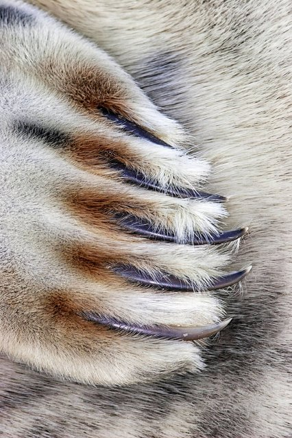 """Grey Seal Claws"". Close to Nature category winner. (Photo by Jim Greenfield/British Wildlife Photography Awards 2014)"