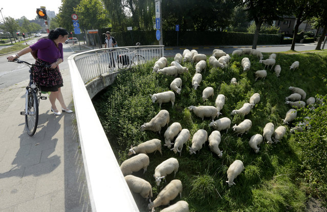 A woman looks at sheep grazing in Ghent, western Belgium, Monday, September 8, 2014. About 60 sheep, belonging to the city of Ghent, graze daily in the city's parks and along the canal banks as an ecological alternative to lawn mowers. (Photo by Yves Logghe/AP Photo)
