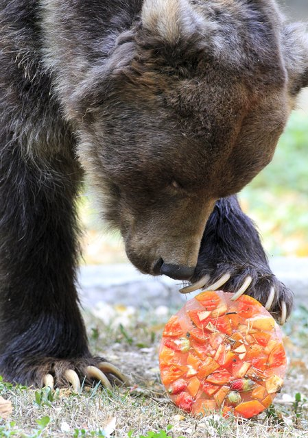A brown bear enjoys frozen fruit during hot weather at a zoo in Cali, Colombia, September 16, 2015. (Photo by Jaime Saldarriaga/Reuters)