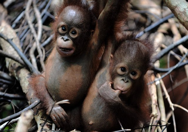 """This picture taken on August 4, 2016 shows two orphaned orangutan babies in a tree whilst attending """"jungle school"""" at the International Animal Rescue centre outside the city of Ketapang in West Kalimantan. Ignoring the shrieks of his rowdy, wrestling classmates, baby orangutan Otan practises swinging alone at his """"jungle school"""" on Borneo island, switching hands and hanging upside down as he builds confidence high above the forest floor. The three-year-old is learning to fend for himself since being found wandering a palm oil plantation, alone and suffering smoke inhalation, at the height of fires last year that razed huge swathes of rainforest in Indonesia's part of Borneo. (Photo by Bay Ismoyo/AFP Photo)"""
