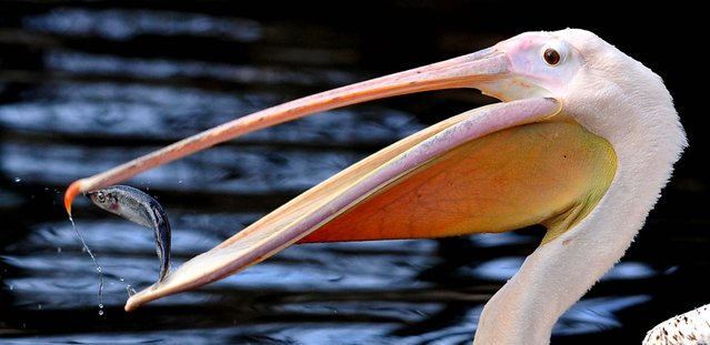 A Great White Pelican catches a fish in his compound at the Zoo in Dresden, Germany, January 2, 2013. (Photo by Matthias Rietschel/dapd)