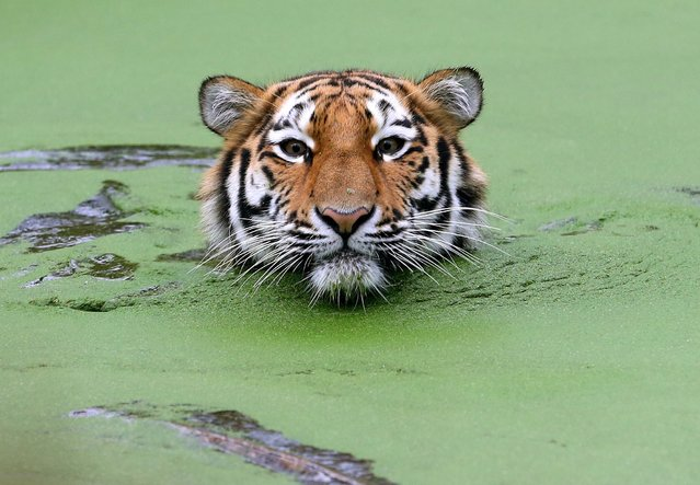 A young Siberian tiger (Panthera tigris altaica) swims in its outdoor enclosure on January 7, 2013 at the Zoo in Duisburg, western Germany. (Photo by Roland Weihrauch/AFP Photo)