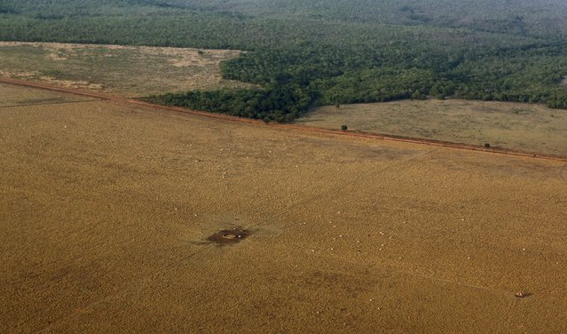 An aerial view shows Zebu cattle in an area that had been cleared for pasture bordering the Amazon rainforest in Mato Grosso state, western Brazil, October 4, 2015.  Picture taken October 4, 2015. (Photo by Paulo Whitaker/Reuters)