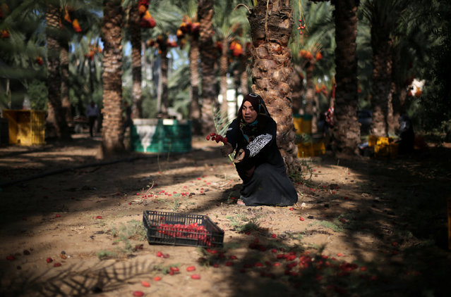 A Palestinian woman collects freshly picked dates during harvest season in southern Gaza September 25, 2016. (Photo by Ibraheem Abu Mustafa/Reuters)