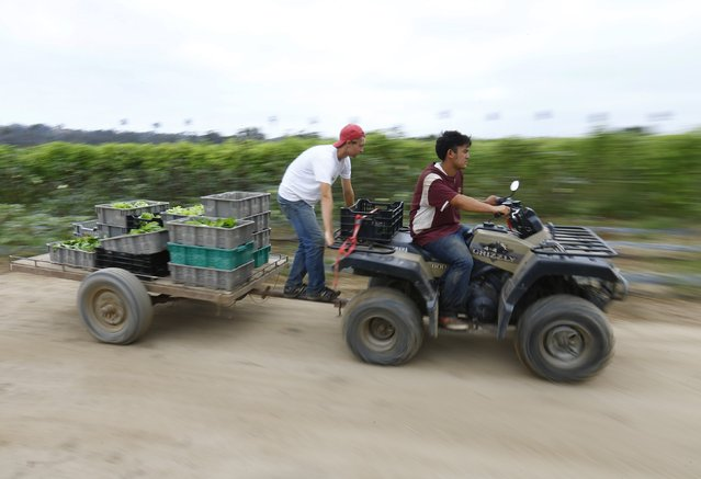 Makoto Chino (R) pulls freshly picked vegetables with an all-terrain vehicle (ATV) on his family's farm in  Rancho Santa Fe, California August 12, 2014. (Photo by Mike Blake/Reuters)