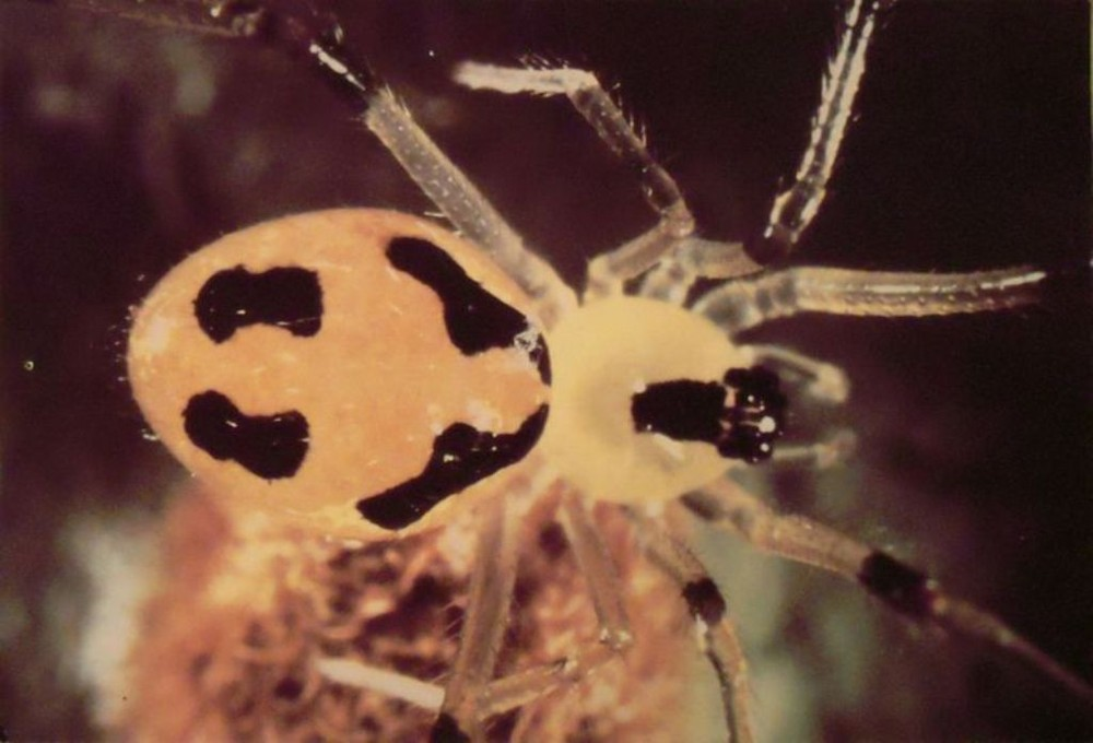 Happy Face Spider
