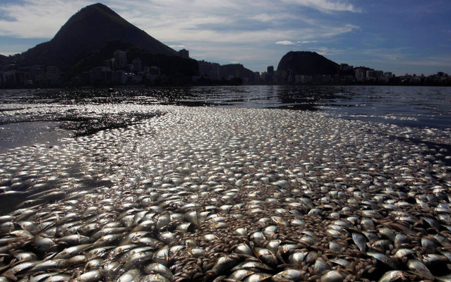 """Tons of dead fish float on the waters of the Rodrigo de Freitas lagoon, beside the Corcovado mountain in Rio de Janeiro, Brazil on March 13, 2013. Rio de Janeiro officials are assuring fans that the lagoon that will be used for Olympic rowing events in 2016 is """"normally picturesque"""", but it sure doesn't look that way now. The Rodrigo de Freitas lagoon was a sea of dead fish earlier this week when algae choked off the lagoon's oxygen supply, killing 80 tons of yellowtail, catfish, tilapia and sea bass (RIP delicious fish). The algae problem was due to heavy rains which flooded the area with rotting algae. It took municipal officials 48 hours to clear out the dead fish; they've had experience before as this problem happens occasionally due to weather or pollution. (Photo by Gabriel de Paiva/Agência O Globo)"""