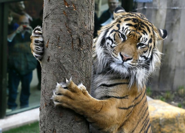 Jae Jae, a male Sumatran Tiger scratches a tree, as the public watch from behind glass, at London Zoo, Wednesday, March 27, 2013. Tiger Territory is a newly opened tiger enclosure designed by keepers and conservationists, the zoo is hoping the Indonesian inspired enclosure with climbing trees, a pool for swimming and 2,500square metres to roam will encourage the two tigers to breed. (Photo by Kirsty Wigglesworth/AP Photo)