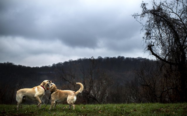On a rainy morning in the Palisades neighborhood,  two Labradors, Ricky Bobby and Samantha, play tug of war with a ball toy on a park path in Washington, DC, Tuesday, December 2, 2014. (Photo by Melina Mara/The Washington Post)