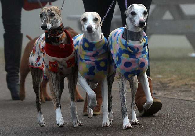 Whippets arrive for the second day of the Crufts Dog Show in Birmingham, Britain March 9, 2018. (Photo by Darren Staples/Reuters)