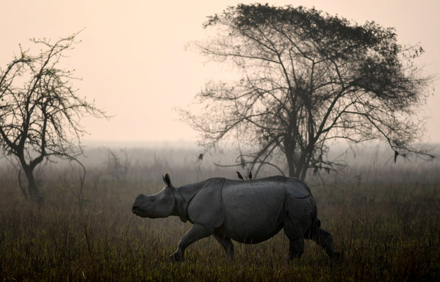 A one horned Rhino roams during the Rhino census inside the Pobitora Wild Life Sanctuary in Morigaon district of Assam state, India, 18 March 2018. Pobitora has the highest density of one horned Rhino population in the world, presently numbering about 93 according to 2012 census in just 38.8 Sq. km. area. The Rhino census for the year 2018 has been conducted with the help of elephants and on foot where about 70 forest officials including NGO members took part. (Photo by EPA/EFE/Stringer)