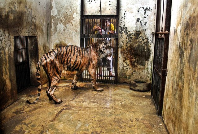 A keeper tries to feed Melanie, a 15-year-old female Sumatran tiger that has been suffering from digestive disorder for five years at Surabaya Zoo in Surabaya, Indonesia, on April 15, 2013. An official says Melanie is in critical condition at Indonesia's largest and problem-plagued zoo and may have to be euthanized  (Photo by Associated Press)
