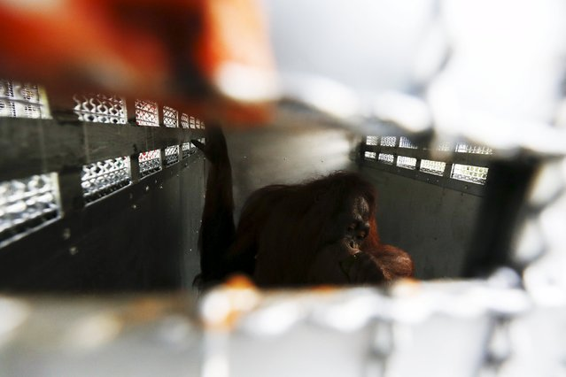 An orangutan is pictured inside a cage during preparations for the apes' repatriation to Indonesia at Kao Pratubchang Conservation Centre in Ratchaburi, Thailand, November 11, 2015. (Photo by Athit Perawongmetha/Reuters)