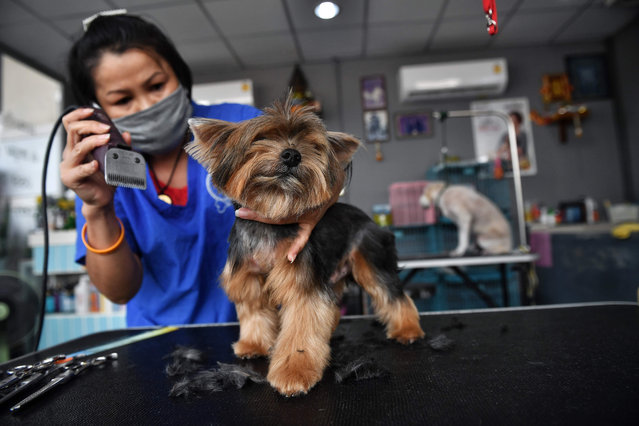 A pet groomer wears a face mask as she tends to a dog in Bangkok on May 3, 2020, after the business was reopened as the Thai government eased measures aimed at combating the spread of the COVID-19 novel coronavirus. Thailand began easing restrictions related to the COVID-19 novel coronavirus on May 3 by allowing various businesses to reopen, but warned that the stricter measures would be re-imposed should cases increase again. (Photo by Lillian Suwanrumpha/AFP Photo)