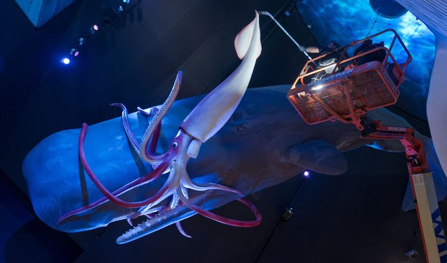 """The house technicians at Ozeaneum Stralsund use a vacuum cleaner on the 15-meter-long sperm whale and the 10-meter-long giant squid in the exhibition hall showing """"Giants of the Sea 1:1"""", in Stralsund, Germany, 13 January 2015. Since the last cleanup, a two-millimeter thick dust layer has formed on the surface of the sperm whale. (Photo by Stefan Sauer/EPA)"""