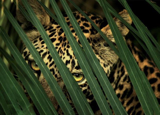 A leopard's spotted coat provides camouflage in the dense forest in the Okavango Delta, Botswana, circa 2004-2005. (Photo by Beverly Joubert/National Geographic)