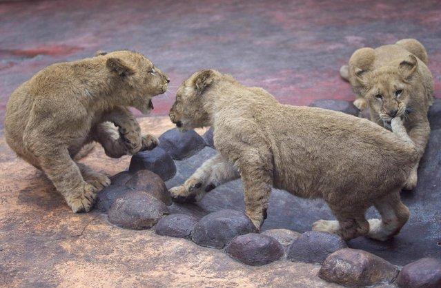 Lion cubs play at Hangzhou Safari Park, January 26, 2015. (Photo by Reuters/China Daily)