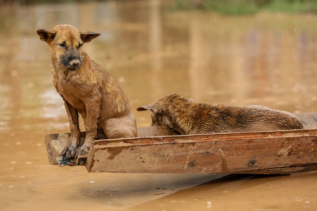 Two dogs ride a small boat in the flooded areas in Sanamxai, Attapeu province, on July 26, 2018. (Photo by Kao Nguyen/AFP Photo)