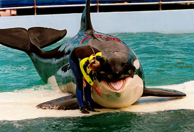 In this March 9, 1995 file photo, trainer Marcia Hinton pets Lolita, a captive orca whale, during a performance at the Miami Seaquarium in Miami. The federal government has decided that the whale deserves the same protection as a small population of endangered orcas that spend time in Washington state waters. (Photo by Nuri Vallbona/AP Photo/Miami Herald)