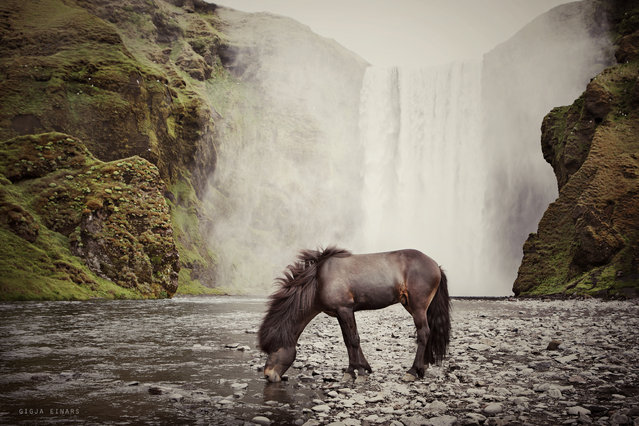 """Icelandic stallion at Skógarfoss"". (Photo by Gigja Einarsdottir)"