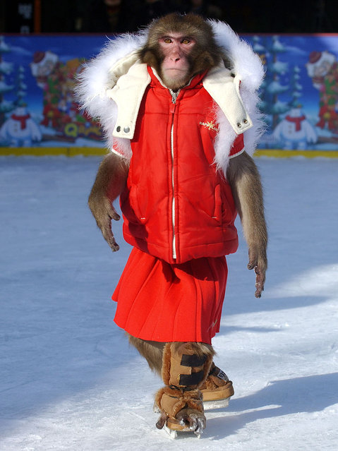 A monkey wearing a red winter coat enjoys ice skating at a shopping district in Seoul, 24 January 2006. (Photo by Jung Yeon-Je/AFP Photo)