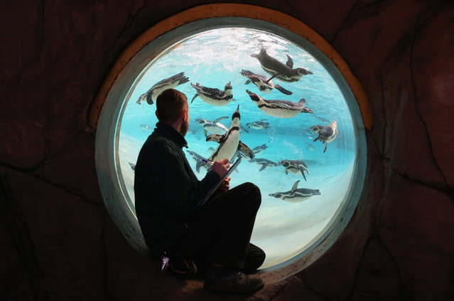 A keeper records the number of penguins during ZSL London Zoo's annual stocktake of animals on January 2, 2014 in London, England. (Photo by Oli Scarff/Getty Images)