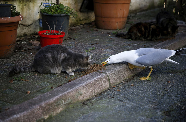A cat and a seagull feeding on a street in Heybeliada, the second largest of the Prince Islands in the Sea of Marmara, near Istanbul, Turkey on February 01, 2017. (Photo by Sebnem Coskun/Anadolu Agency/Getty Images)