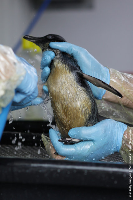 Penguin in oil