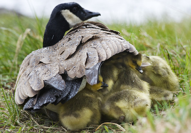 A gaggle  of goslings huddle together under the protective wing of a parent along the bank of the Deschutes River as a heavy downpour passes through Bend, Oregon, late Wednesday, April, 20, 2106 afternoon. (Photo by Ryan Brennecke/The Bulletin via AP Photo)