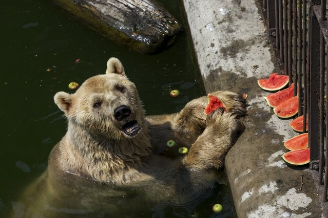 Cezar, a 32 year-old polar bear eats a watermelon in its enclosure in Belgrade's zoo, Serbia July 20, 2015. Temperatures in Serbia have risen up to 40 degrees Celsius (104 degrees Fahrenheit), according to official meteorological data. (Photo by Marko Djurica/Reuters)