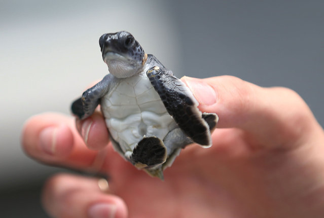 A green turtle is held as marine turtle specialists prepare to release the more than 570 baby sea turtles, including the Loggerhead and Green turtles, into the Atlantic Ocean in a joint effort between the Coast Guard and the Gumbo-Limbo Nature Center on July 27, 2015 in Boca Raton, Florida. The sea turtles hatchlings come from turtle nests located along beaches throughout Florida, which are the primary nesting grounds for Loggerhead sea turtles. (Photo by Joe Raedle/Getty Images)