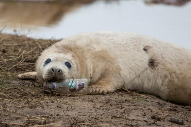 A grey seal pup is pictured with a glass bottle at the Donna Nook Nature Reserve in Lincolnshire, Britain on December 3, 2019. (Photo by Dan Thurling/Reuters)