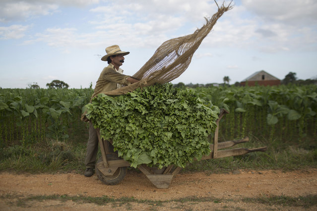 Feliculi Morejon, 53, prepares a cart with fresh tobacco leaves to be taken to a curing barn at a tobacco farm in Cuba's western province of Pinar del Rio February 16, 2015. (Photo by Alexandre Meneghini/Reuters)