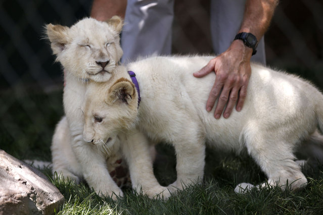 White lion cubs rub against each other during an event to welcome the cubs to Siegfried & Roy's Secret Garden and Dolphin Habitat, Thursday, July 17, 2014, in Las Vegas. Three white lion cubs, born in South Africa, are scheduled to be available for public viewing Friday. (Photo by John Locher/AP Photo)