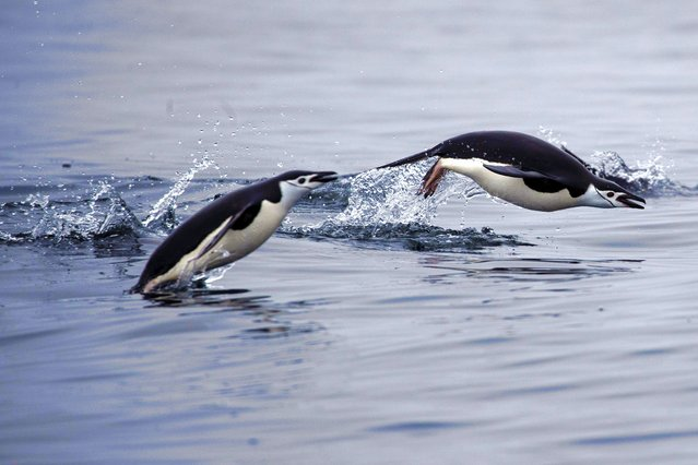A pair of chinstrap penguins swim near Two Hummock Island, Antarctica, February 2, 2020. (Photo by Ueslei Marcelino/Reuters)