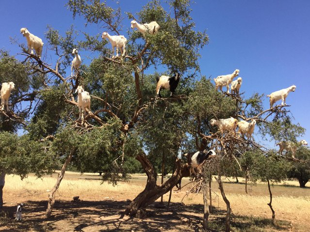 """""""Goats Eating Argan Nuts"""". Nancy Pilchen, 59, of Arlington, took this iPad photo of goats eating argan nuts while traveling between Marrakesh and Essaouira in Morocco in May. (Photo by Nancy Pilchen)"""