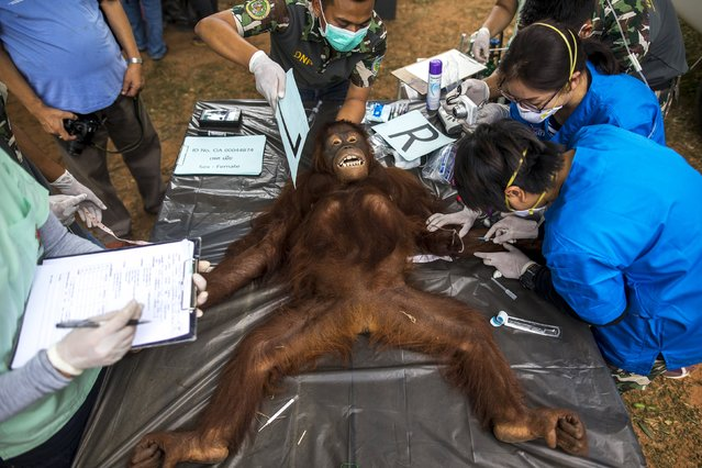 Thai veterinarians and wildlife officers collect blood sample during a health examination at Kao Pratubchang Conservation Centre in Ratchaburi, Thailand, August 27, 2015. (Photo by Athit Perawongmetha/Reuters)