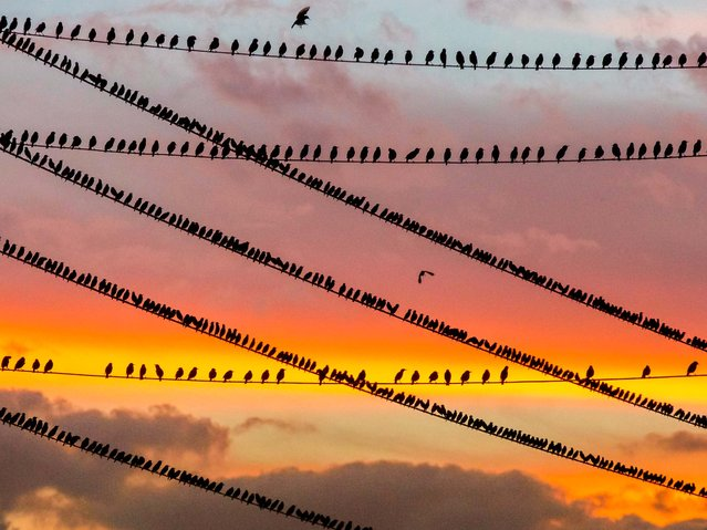 "First Place, Animals. ""Birds On Wires"". (Photo by Dragana Connaughton/The Palm Beach Post)"