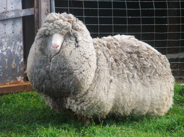 Shaun the shaggy Australian sheep has at last been shorn smooth. But the woolly wanderer wasn't the wooliest of them all. The sheep apparently had been hiding for years on a farm on the island state of Tasmania and had never been shorn. (Photo by AP Photo/AuBC via KYODO)