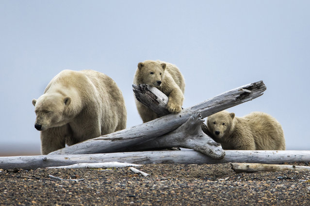 A mother polar bear (L) and two of her cubs gather on a barrier island after feasting on the remains of a bowhead whale, harvested legally by whalers during their annual subsistence hunt, just outside the Inupiat village of Kaktovik, Alaska, USA, 11 September 2017. (Photo by Jim Lo Scalzo/EPA/EFE)