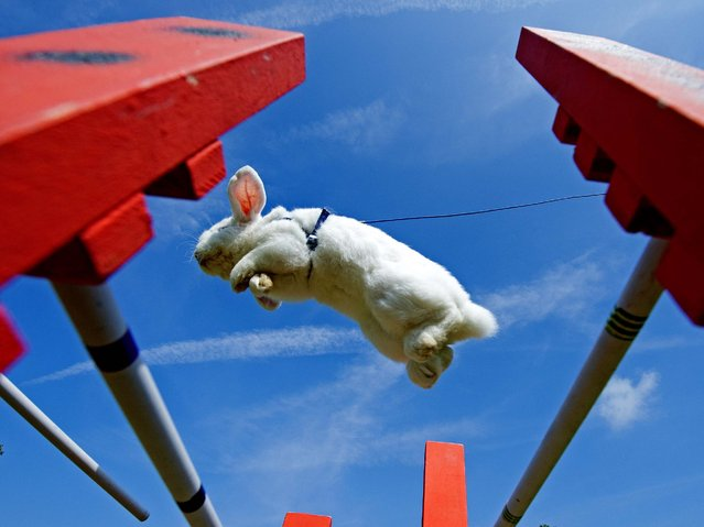 A rabbit jumps during the Kaninhop (rabbit-jumping) competition in Weissenbrunn vorm Wald, Germany, on September 7, 2014. Competitors take part in three different categories with different obstacle heights. (Photo by Jens Meyer/AP Photo)