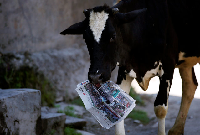 A cow holds a copy of a news paper on the outskirts of Srinagar, August 5, 2016. (Photo by Danish Ismail/Reuters)